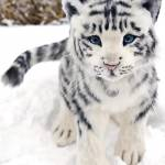 Baby Tiger Profile Picture